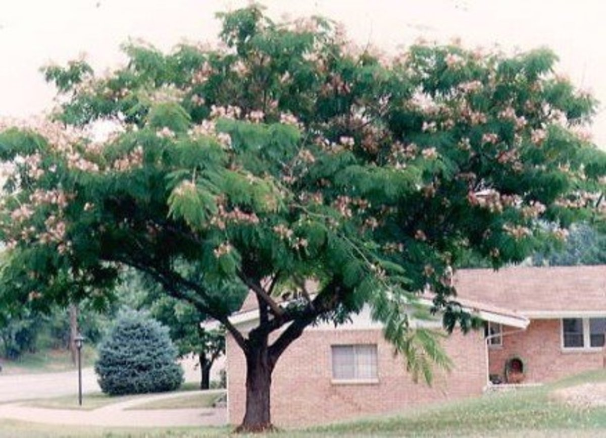 Mimosa Tree in Summer