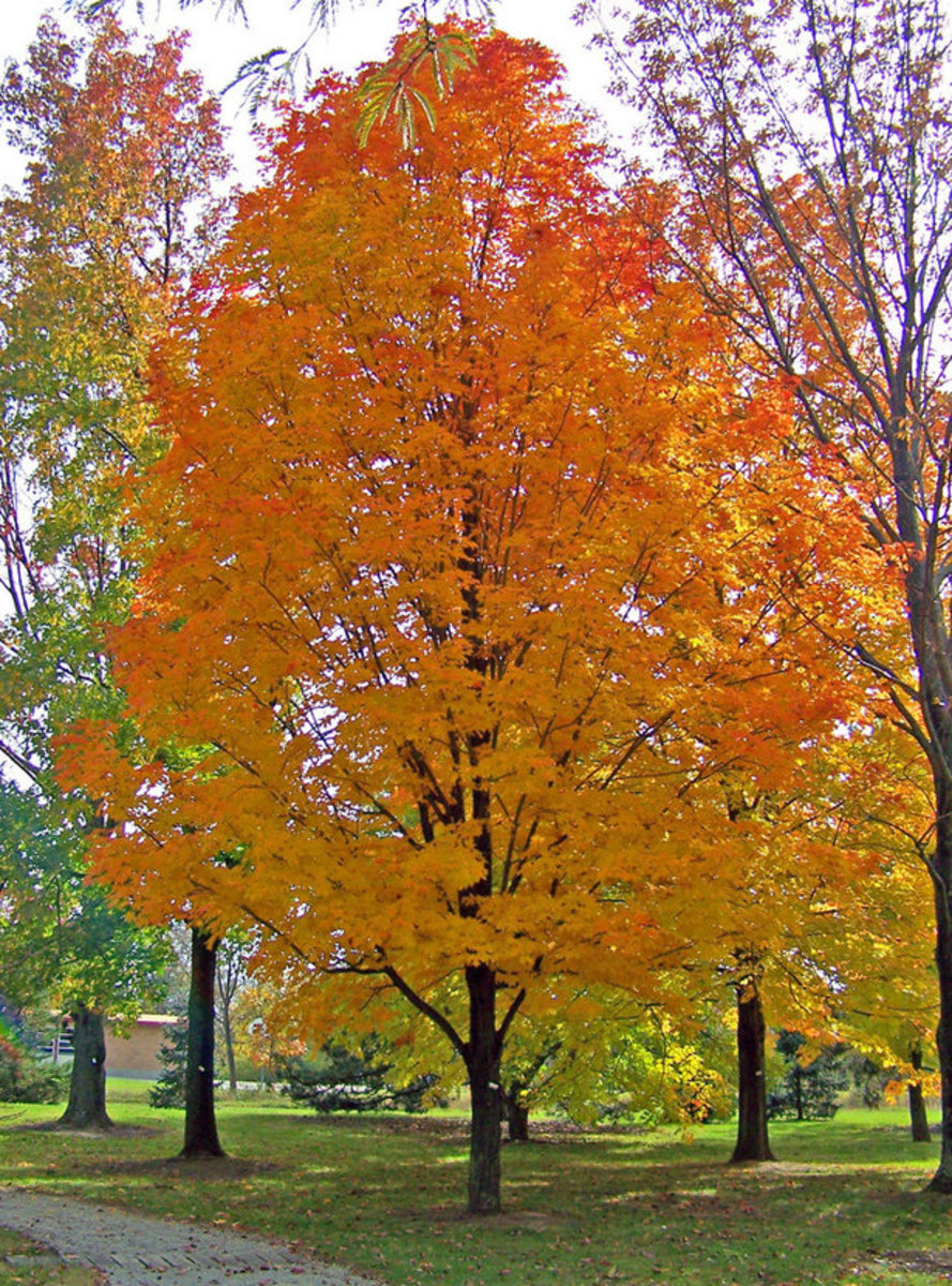 Picture of Maple Tree in Autumn
