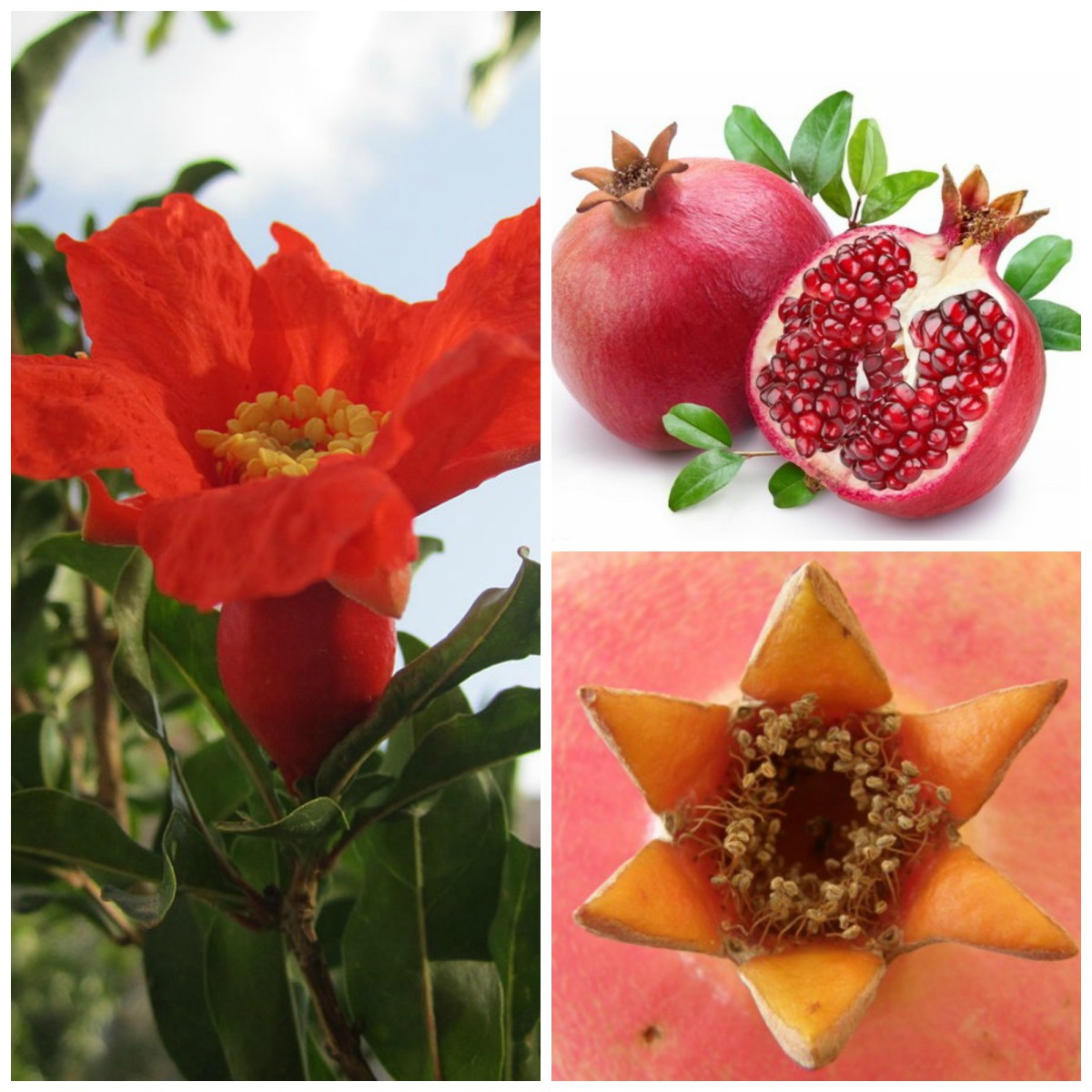 Pomegranate Tree Flower, Fruit and Pomegranate Crown