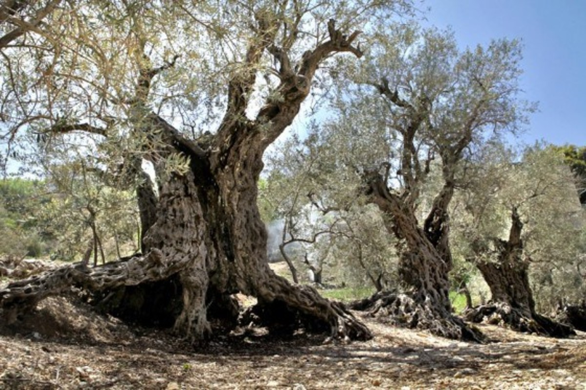 Famous 5,000 Year Old 'Sister Olive Trees',  Bechaaleh, Lebanon