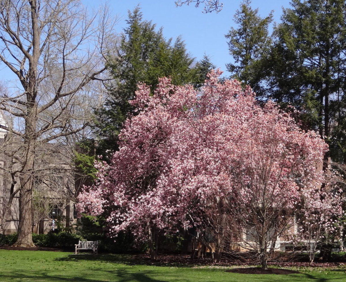 Pink Dogwood Tree on Grounds of Princeton University, New Jersey, U.S.