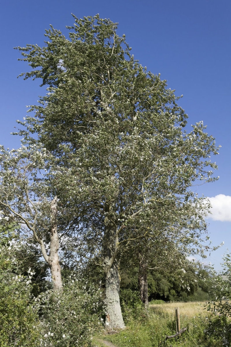 Poplar Tree Picture