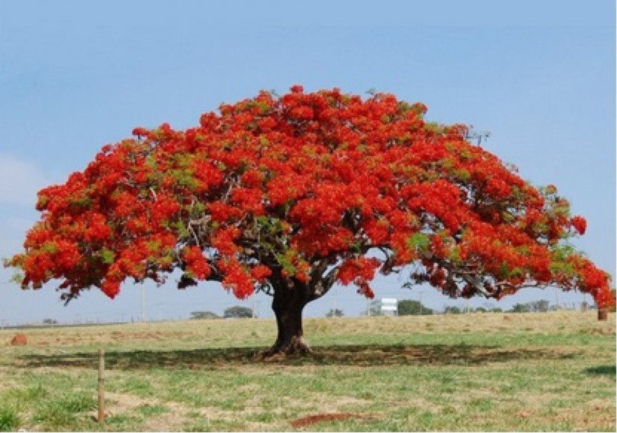 Flame Tree in Blossom