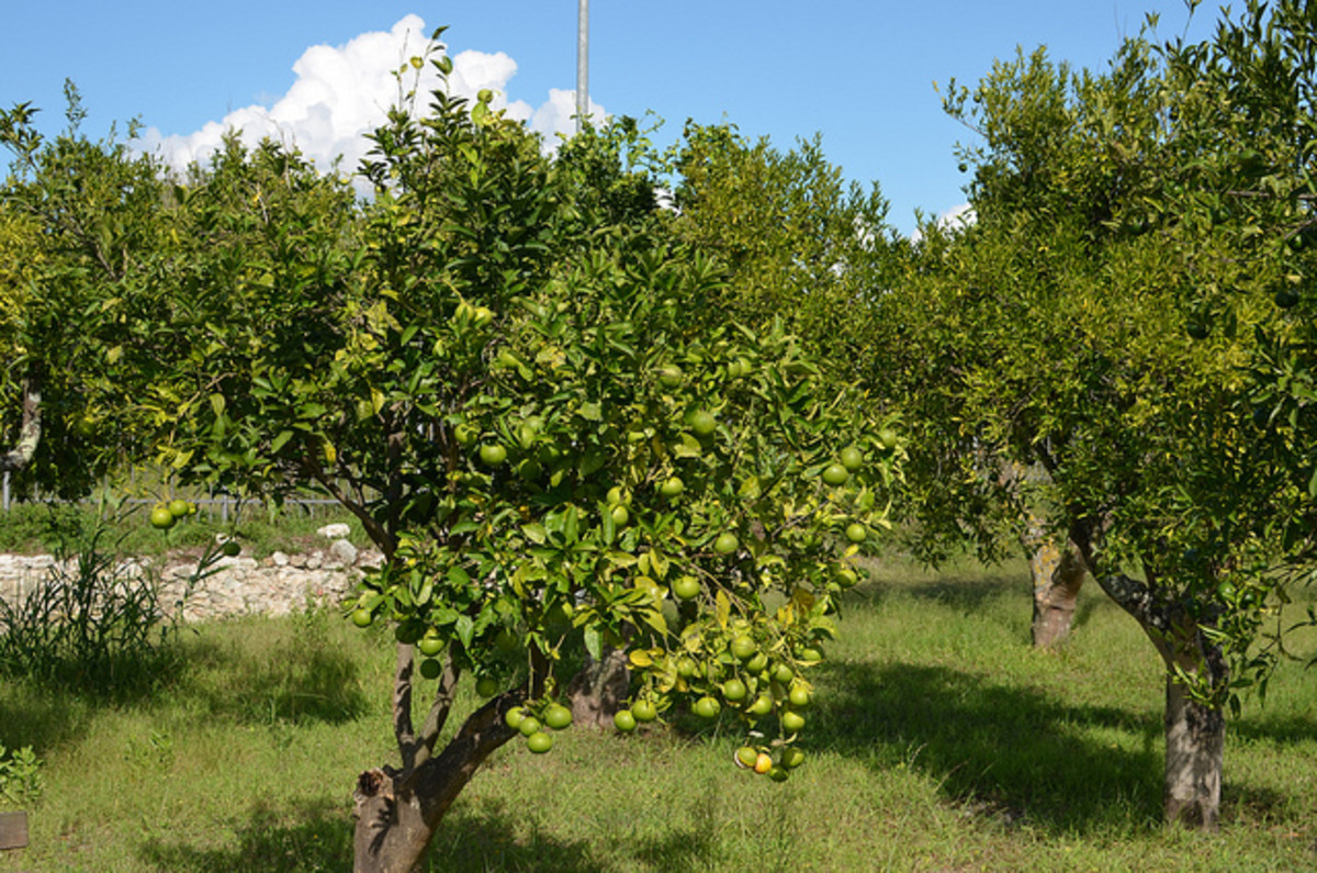 Photo of Fruit-Producing Key Lime Trees