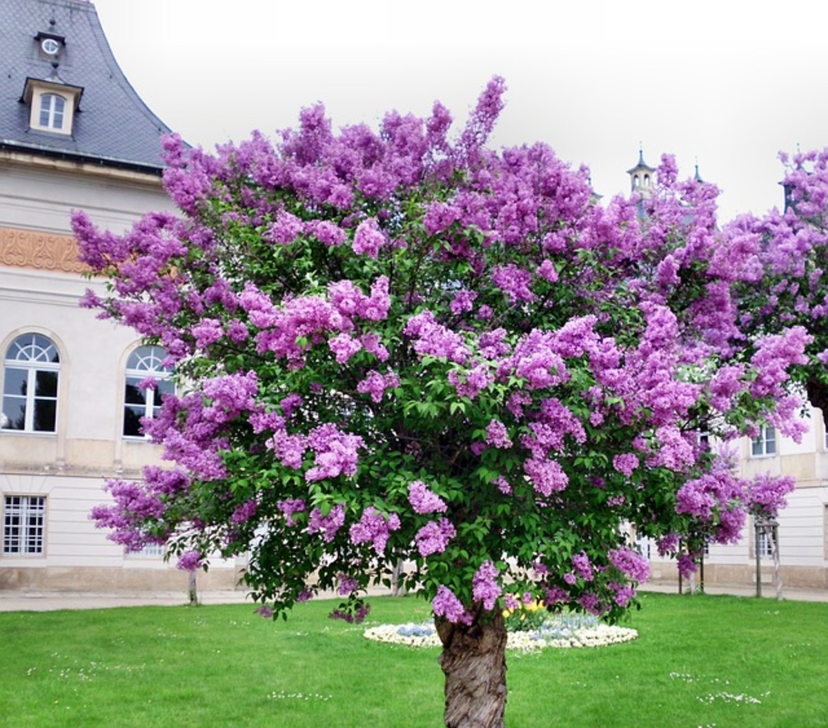 Lilac Tree in Spring