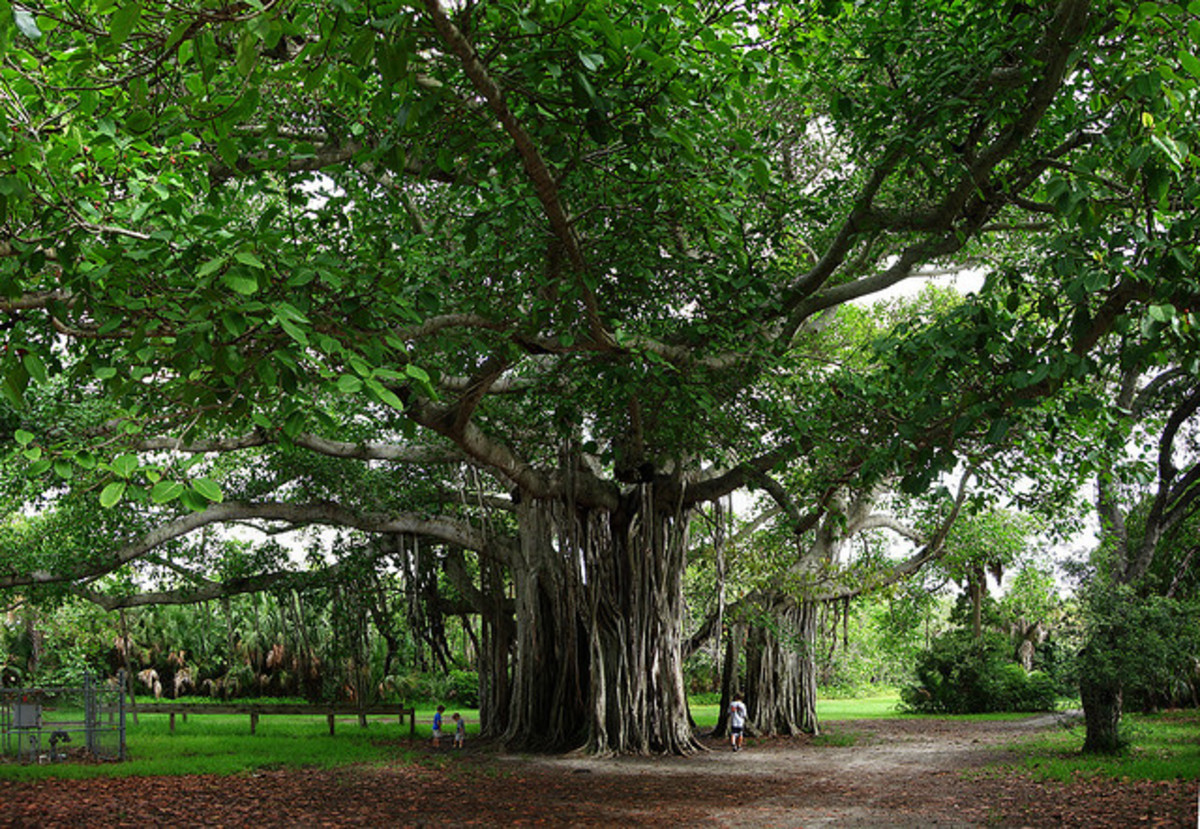 Banyan Tree Photos from Hugh Taylor Birch State Park, Fort Lauderdale, Florida