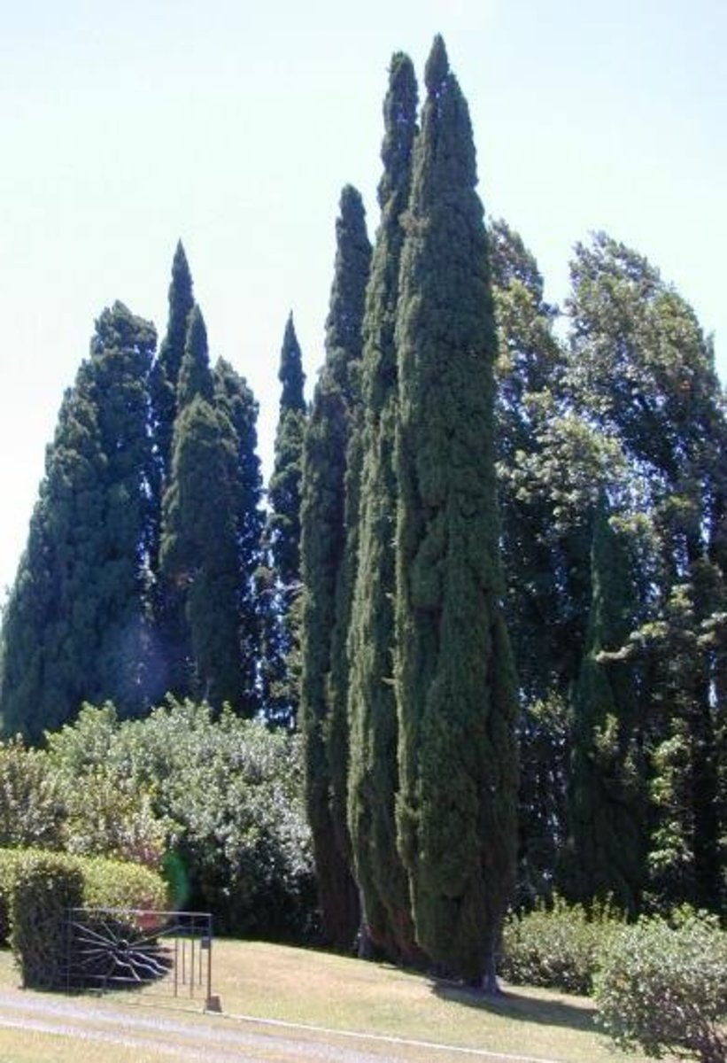 Pictures of Mediterranean Cypress Trees