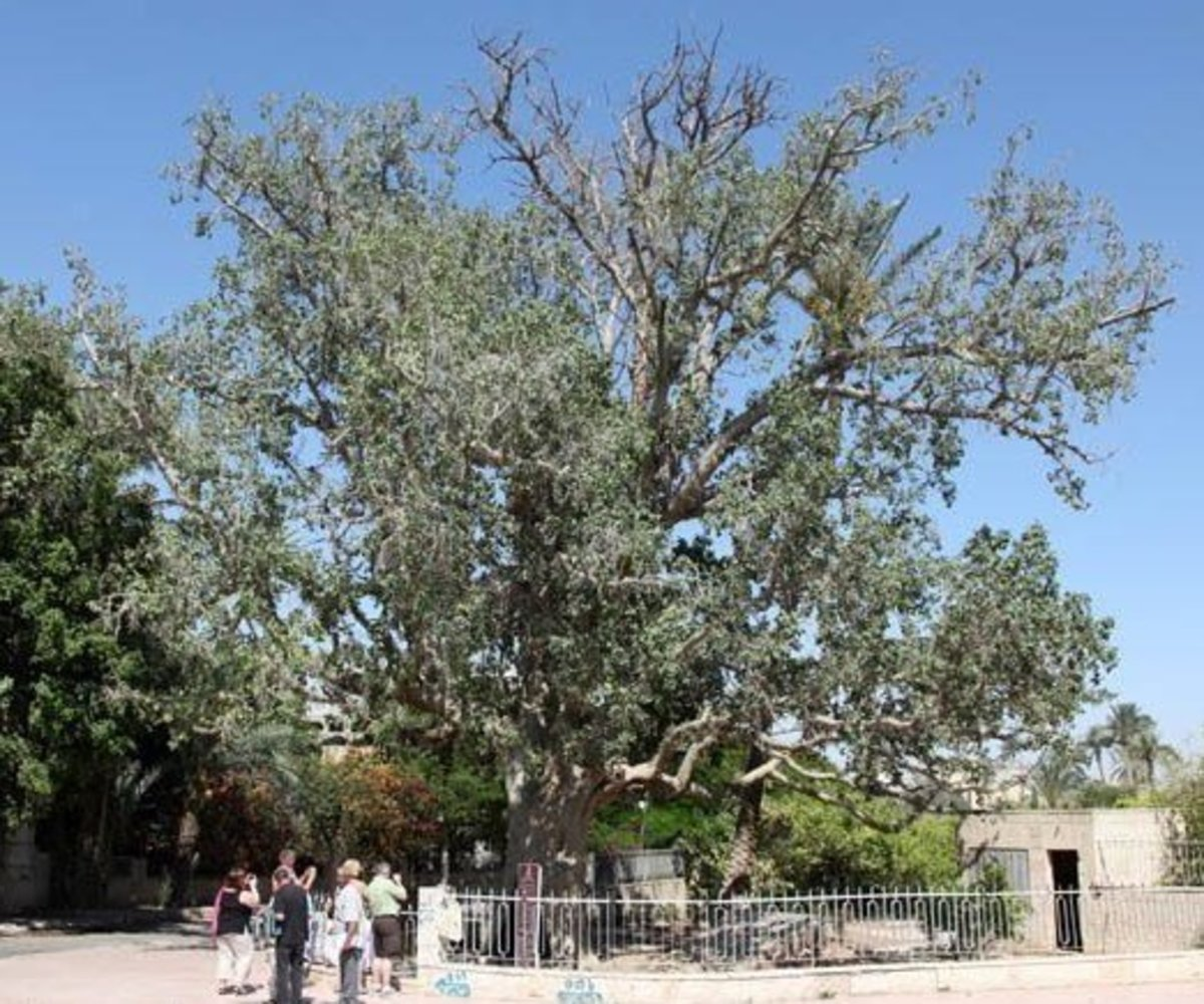 2,000 Year Old Sycamore Fig Tree in Jericho, Israel