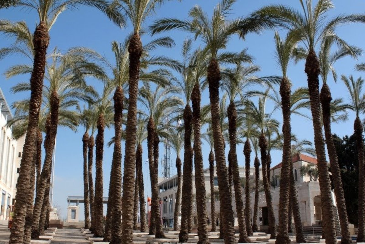 Garden of Date Palm Trees – Picture of Jerusalem City Hall Safra Square, Israel