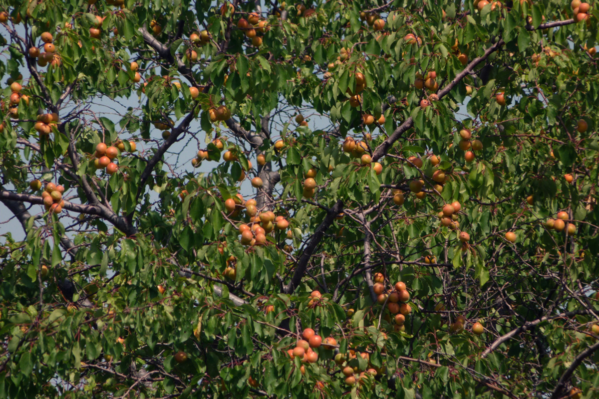 Wild Apricot Tree