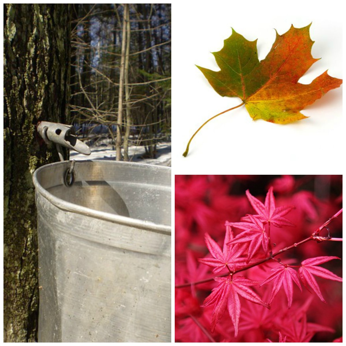 Pictures of Harvesting Maple Syrup, Maple Leaf and Japanese Maple Foliage