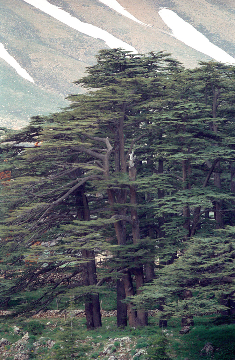 Cedar Tree Images from Lebanon