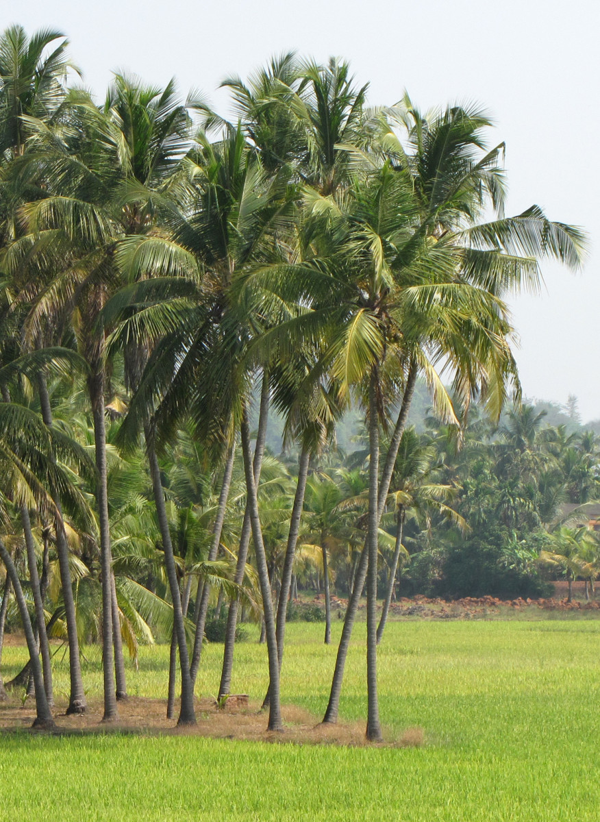 Image of Grove of Coconut Palm Trees