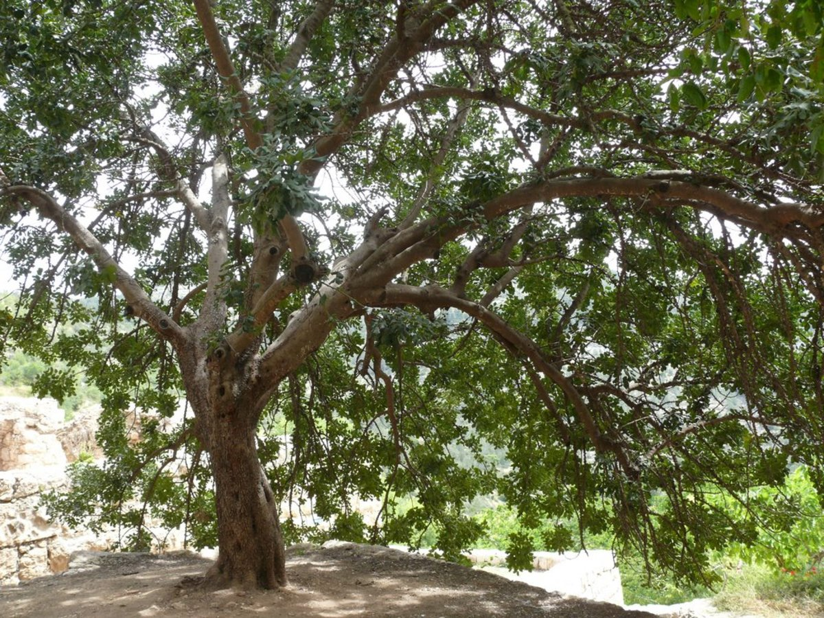 Picture of Fig Tree in Jerusalem, Israel