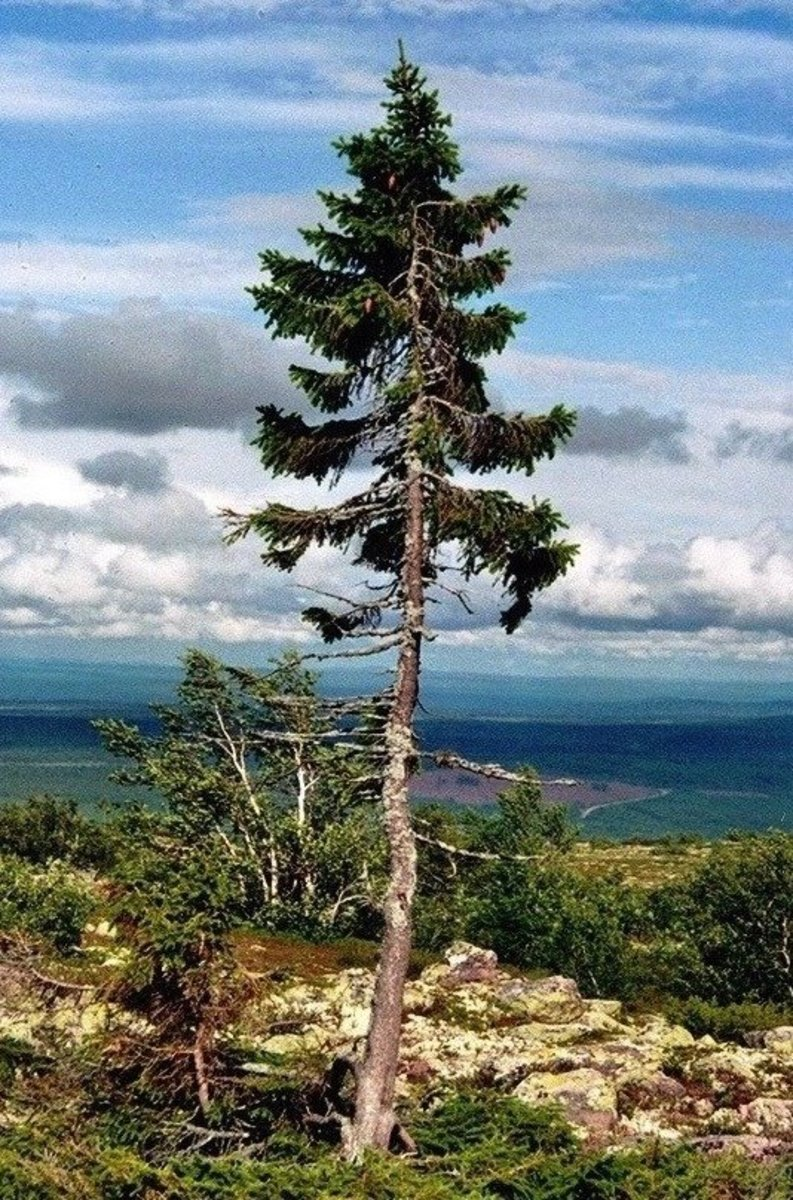 Famous 'Old Tjikko', Oldest Spruce Tree in the World, Sweden