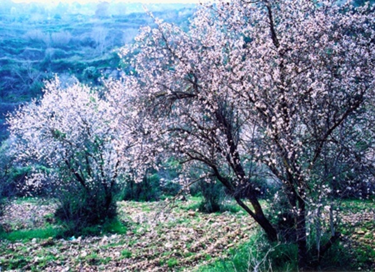 Flowering Almond Trees in Rabin Park, Jerusalem Forest, Israel
