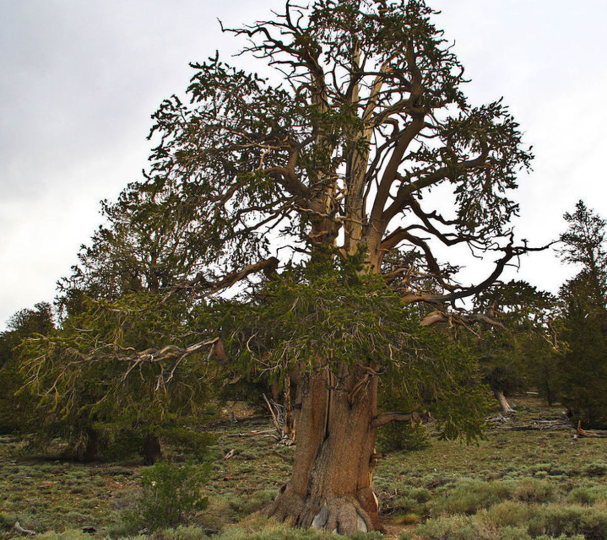 Bristlecone Pine Tree in Inyo National Forest, California