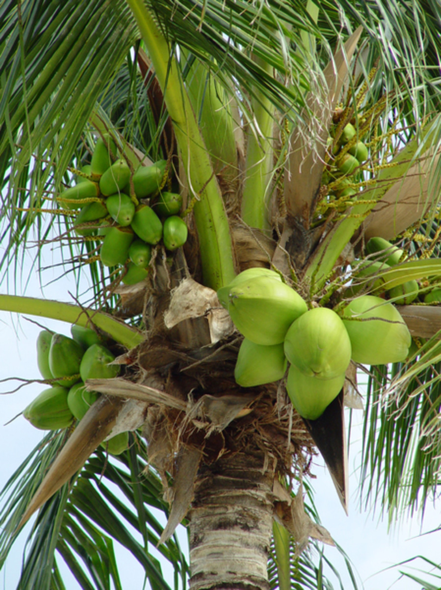 Picture of Palm Tree with Coconuts