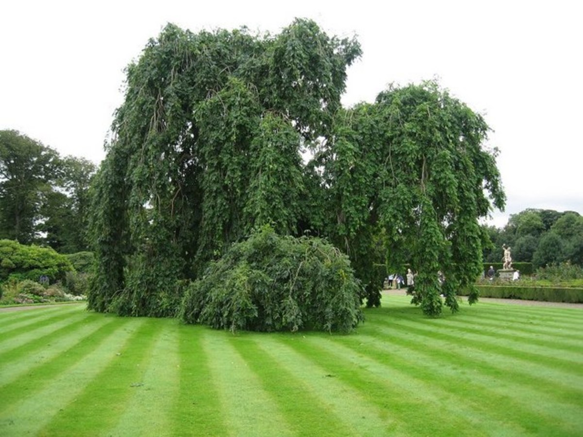 270 Year Old Weeping Ash Tree in Northumberland, U.K.