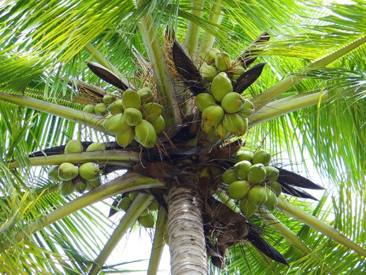 Ripening Coconuts on Palm Tree
