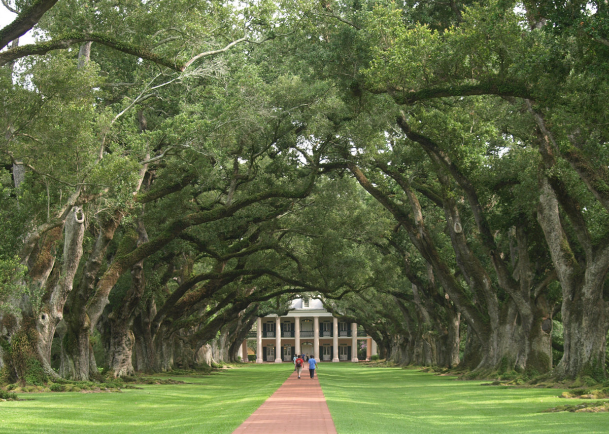 Canopy of Southern Live Oaks at Oak Alley Plantation in Vacherie, Louisiana – Listed in the National Registry of U.S. Historic Places