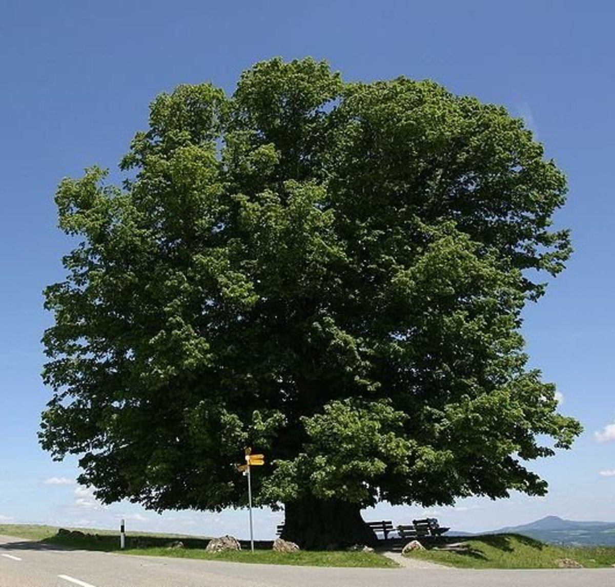 700 Year Old Lime Linden Tree in Brugg, Switzerland