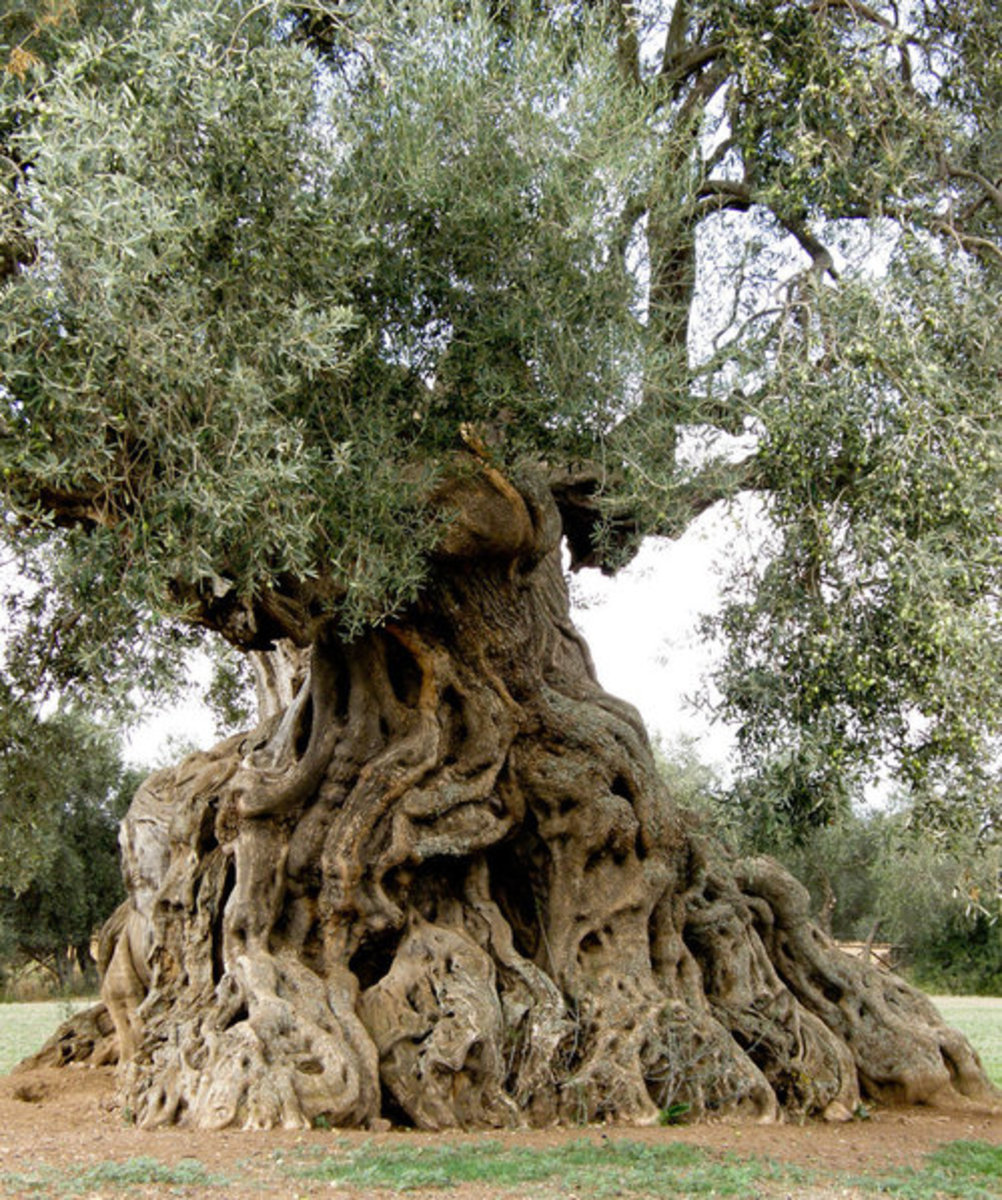 900 Year Old Olive Tree with Massive Trunk in Ortumannu, Sardinia