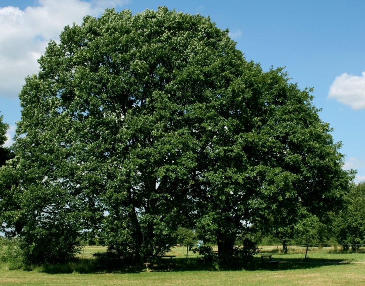 Oak Trees in Summer