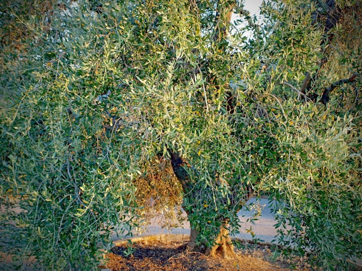 Olive Tree Ready for Harvesting