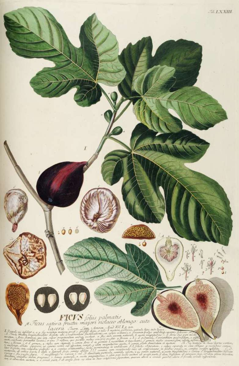 Fig Fruits, Seeds and Leaves