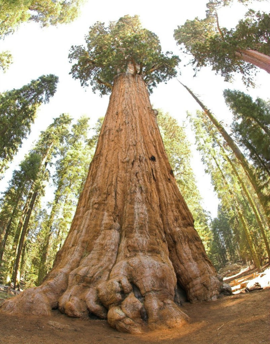 The Famous Giant Sequoia Redwood Tree, General Sherman