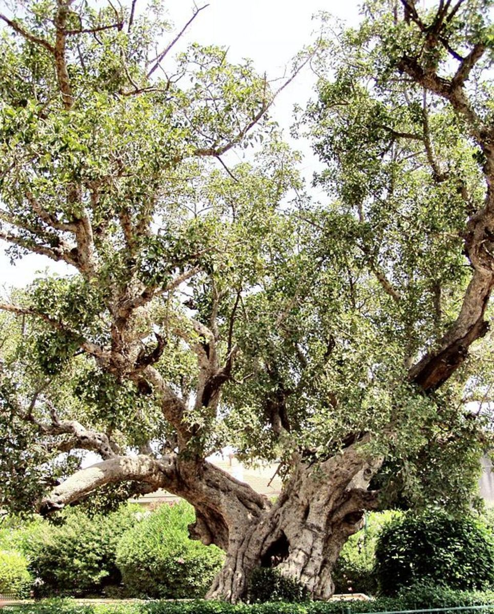 Old Sycamore Fig Tree in Ramat Gan, Israel