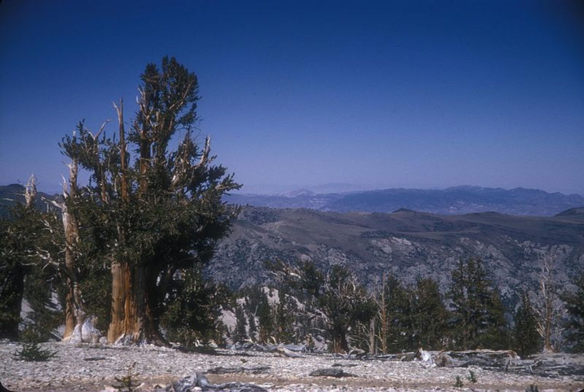 The Patriarch Grove of Bristlecone Pine Trees in Inyo National Forest