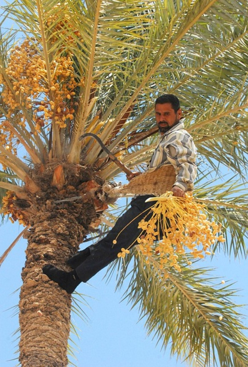 Harvesting the Date Palm Tree in Iraq