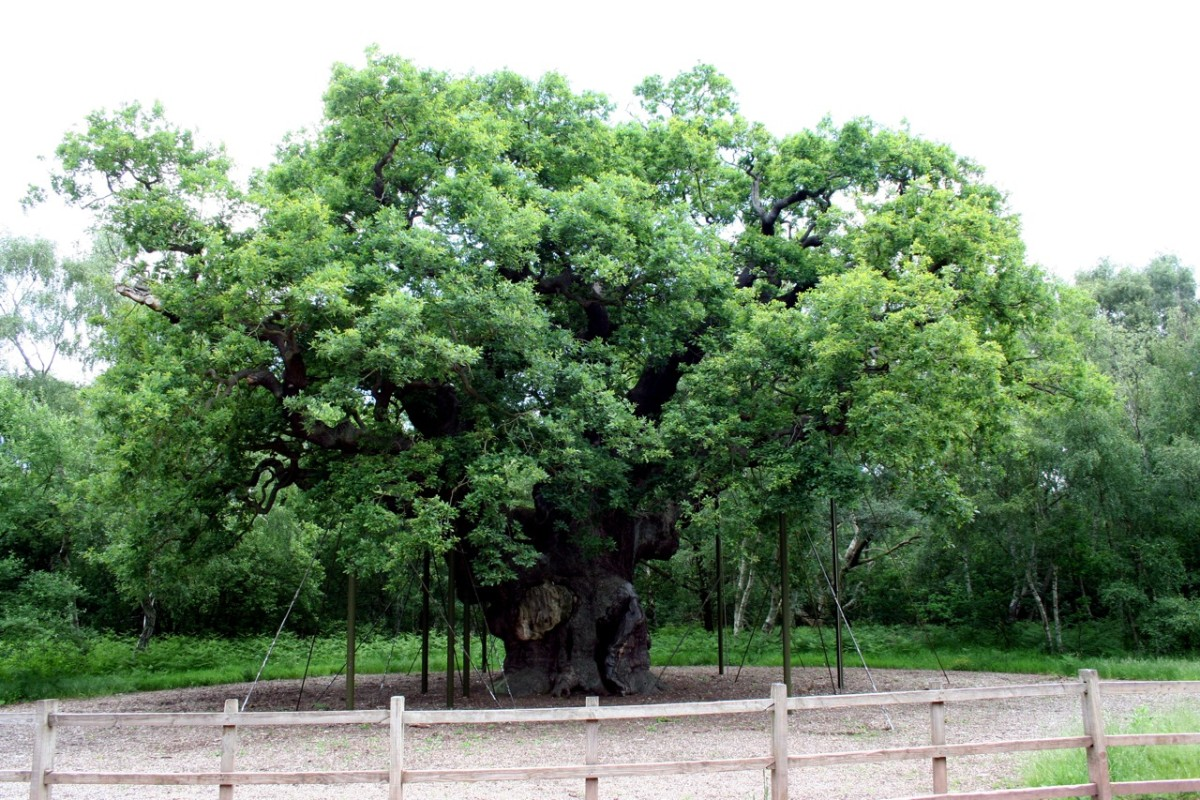 Robin Hood's Famous 'Major Oak Tree' in Nottinghamshire, England