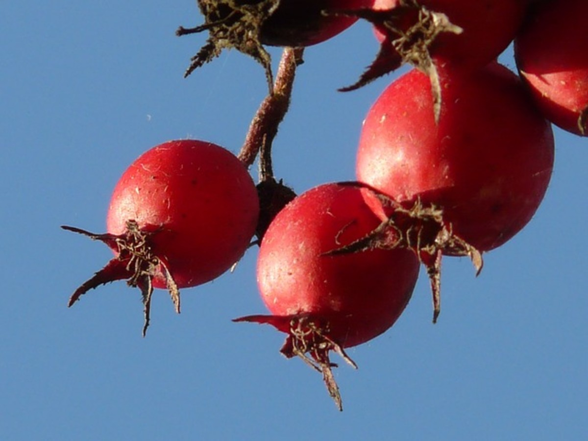 Pomegranates on Tree Branch