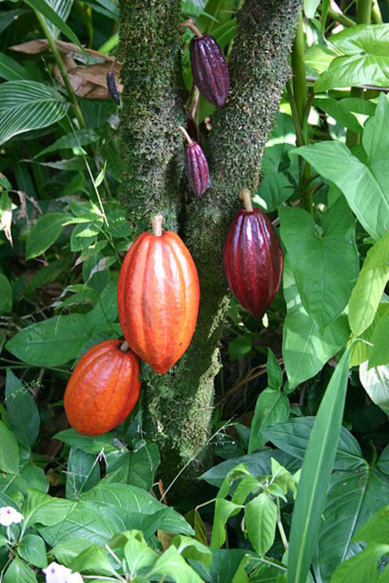 Cocoa Pods on the Cocoa Tree