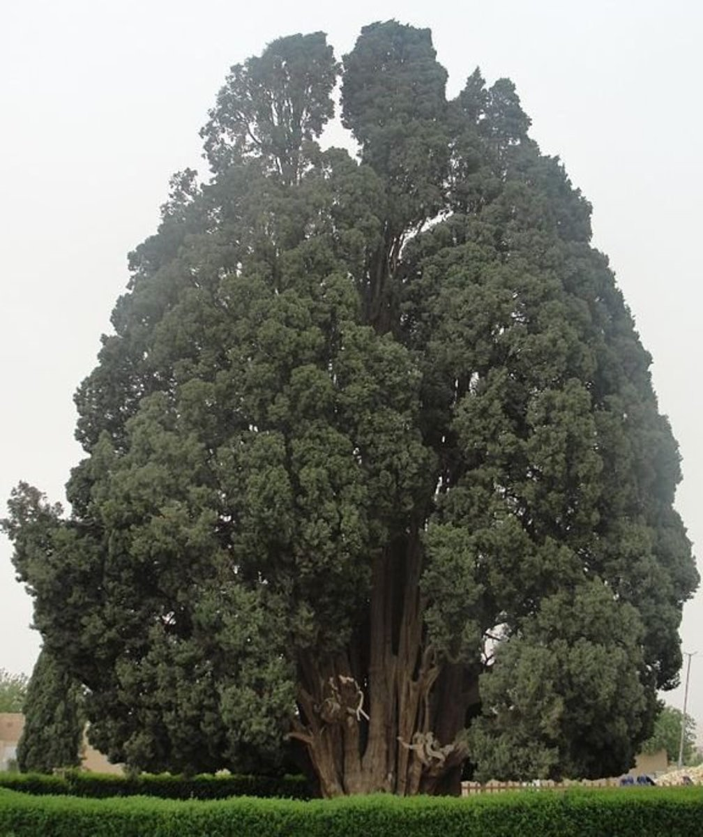 4,000 Year Old Cypress Tree in Abar-Kuh, Iran