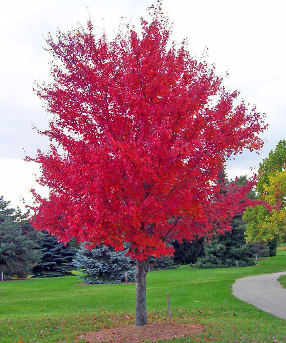 Picture of Red Maple Tree in the Fall