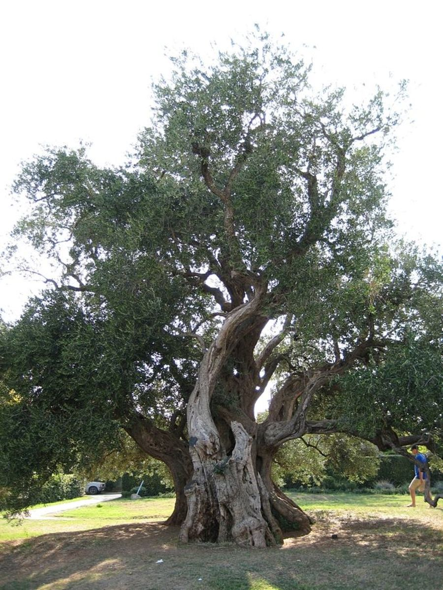 Picture of 1,500 Year Old Olive Tree in Croatia