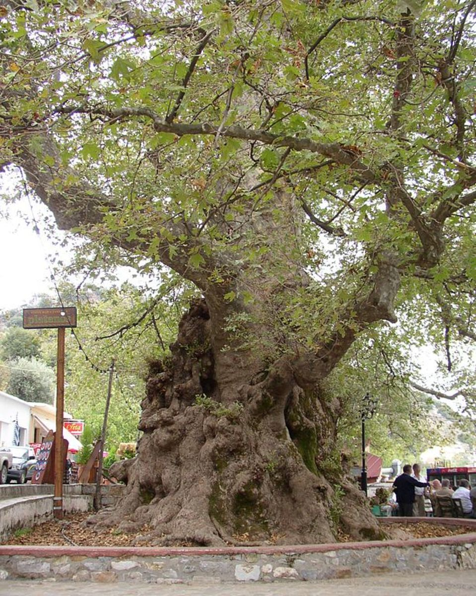 Famous Olive Tree of Vouves – 3,000 Year Old Olive Tree on the Island of Crete
