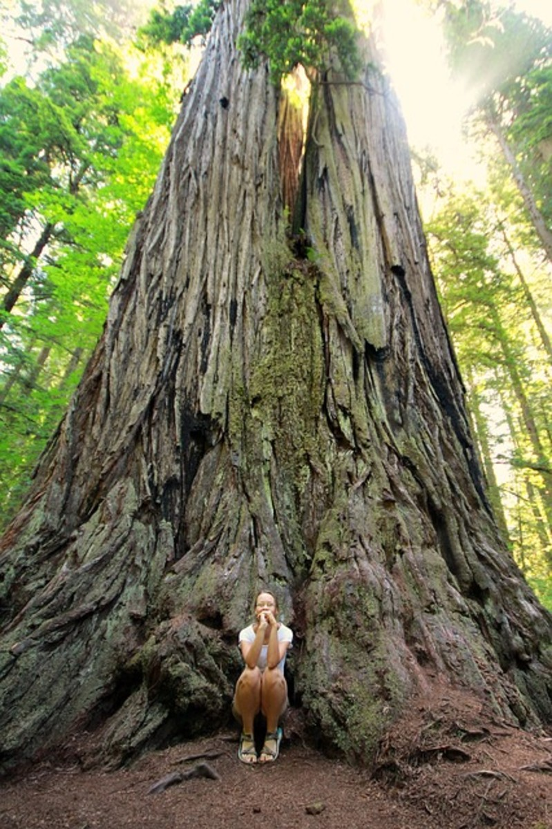 Sequoia Redwood Tree