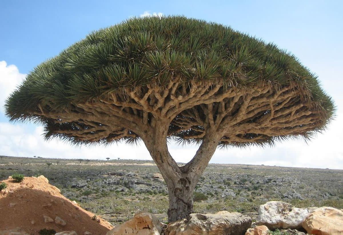 Dragon Tree on Socotra Islands, Yemen
