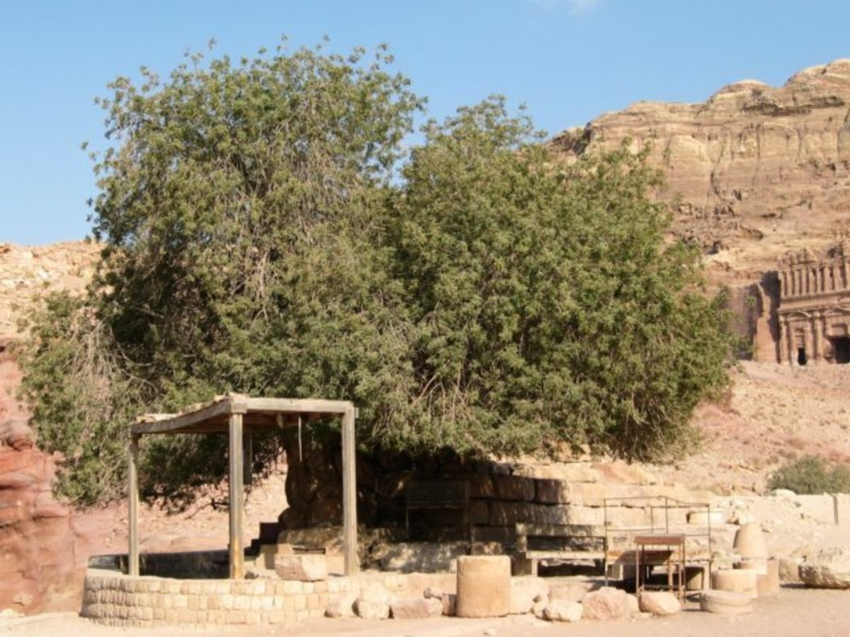 450 Year Old Pistachio Tree in Petra, Jordan