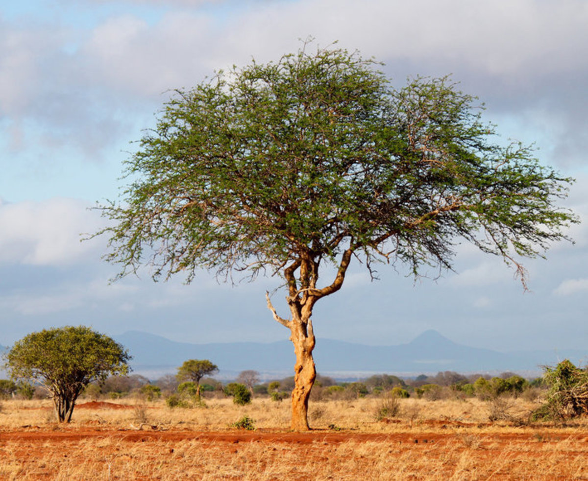 Acacia Trees Picture