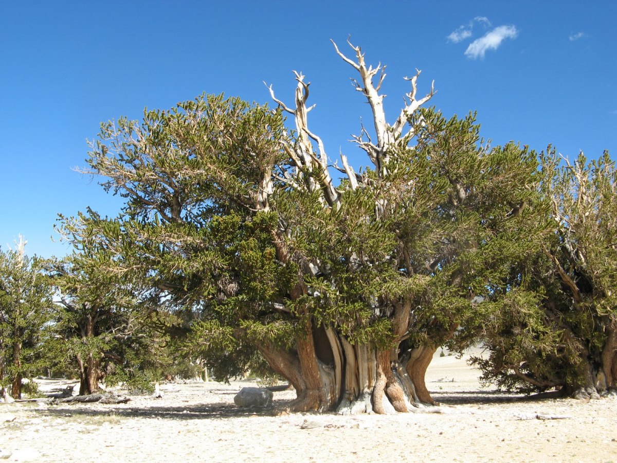 The Famous Bristlecone Pine 'Patriarch Tree', Inyo National Forest, California
