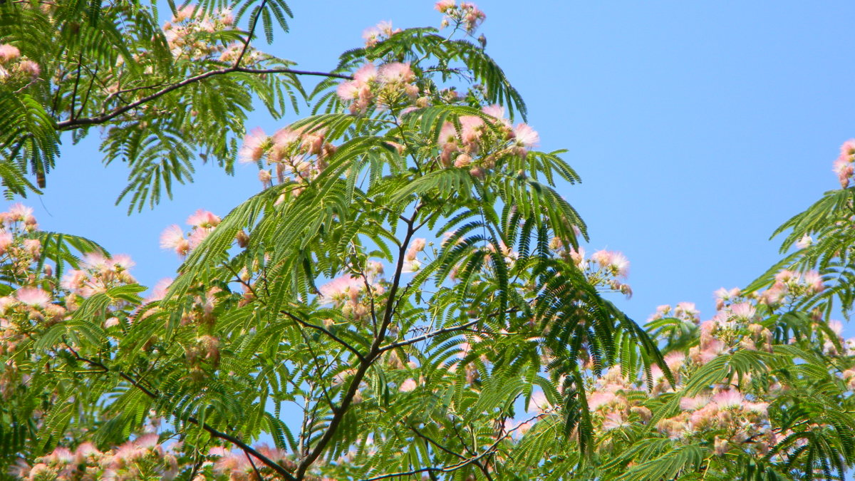 Flowering Mimosa Tree Branch