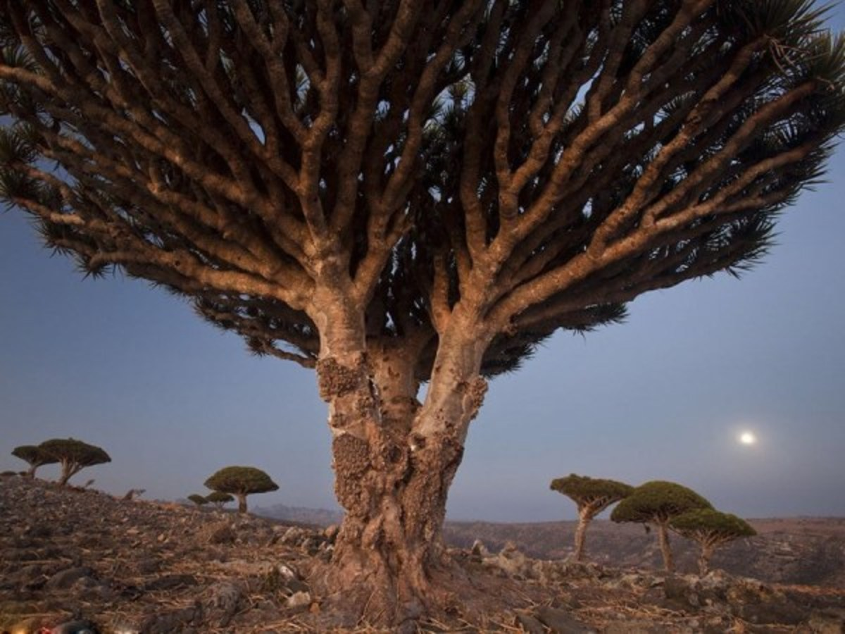 Dragon Trees Photo