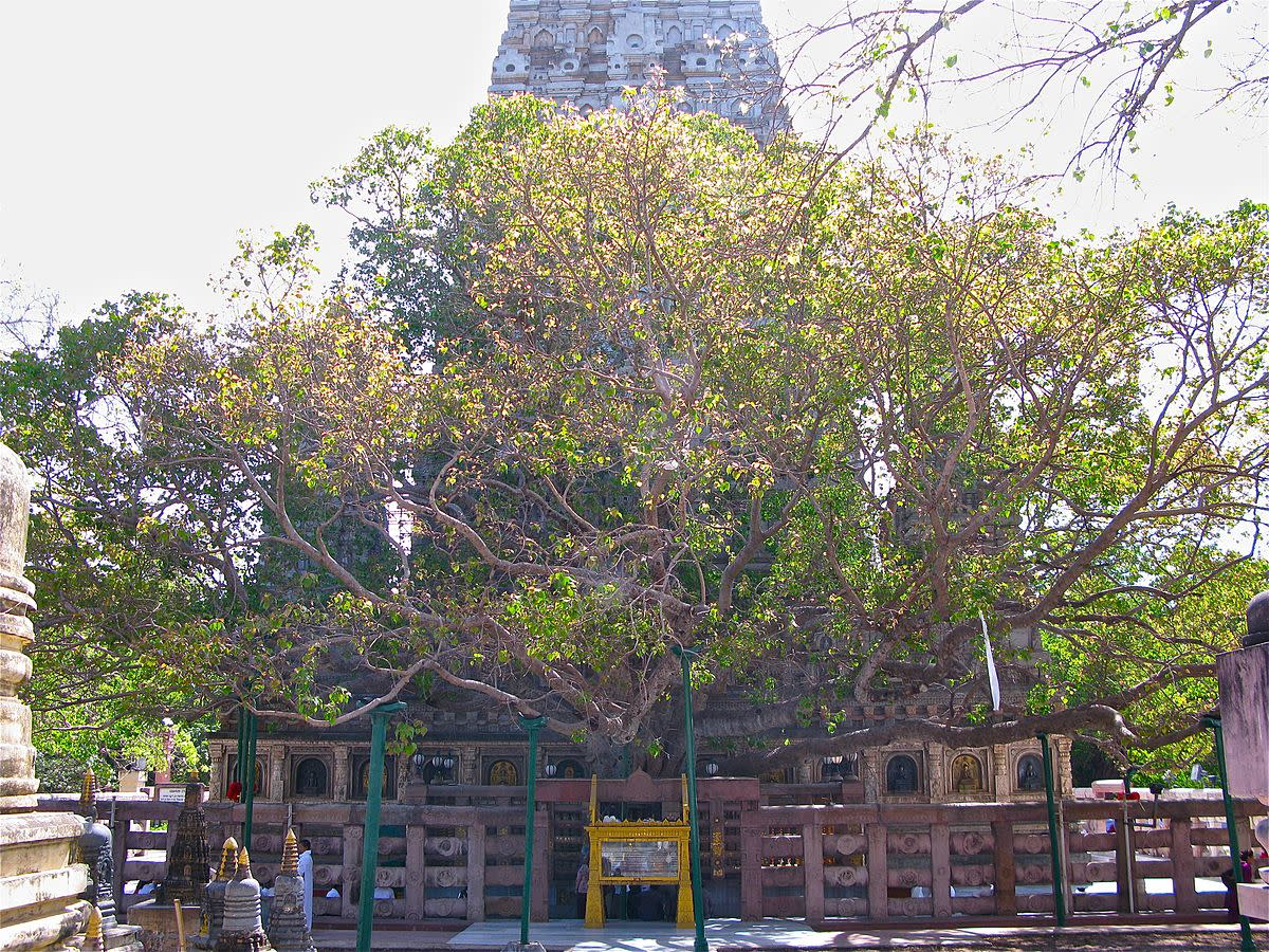 The Famous Mahabodhi Fig Tree in Bodh Gaya, Planted in 288 BCE