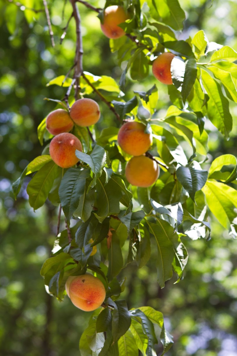 Peach Tree Laden with Fruit